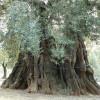 Torna nel Salento l'emergenza ulivi e parte in Rete una petizione per farli dichiarare Patrimonio dell'Umanità UNESCO