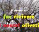 39 milioni e 600mila euro per il reimpianto di ulivi colpiti da Xylella: domande dal 5 ottobre al 5 novembre (6-21 novembre per produttori associati)