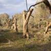La Regione approva la graduatoria per il reimpianto degli oliveti. Regione e Governo insieme contro la Xylella
