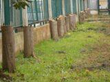 """""""La strage degli innocenti"""": Menozzi """"Erode"""" decreta la decapitazione dei 156 alberi della Scuola Elementare"""